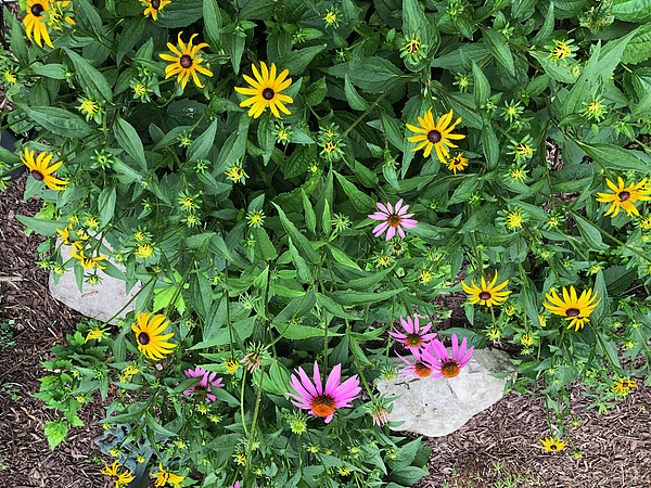 Black Eyed Susans and Coneflowers by Aimee L Maher ALM GALLERY