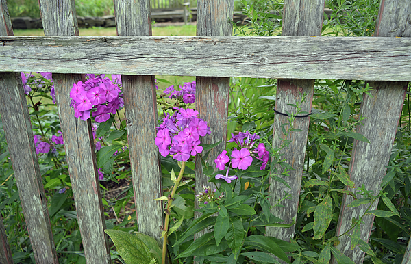 Flowers Peeking Through The Fence by Aimee L Maher ALM GALLERY